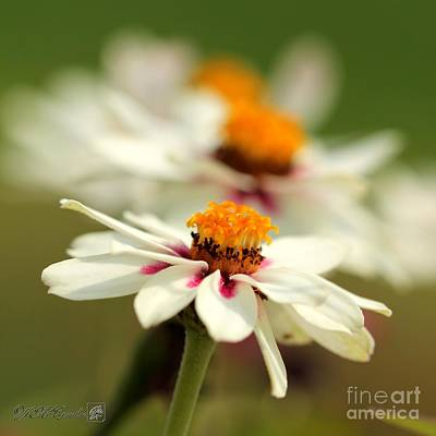 Photograph - Zinnia Named Zahara Starlight Rose by J McCombie