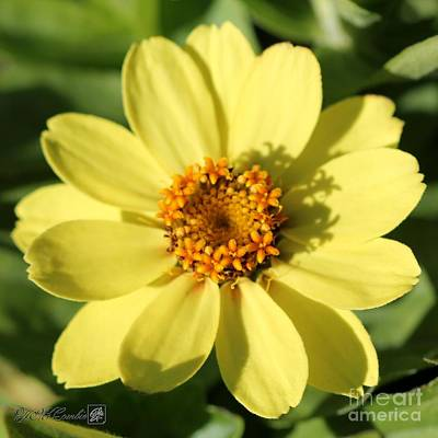 Photograph - Zinnia Named Zahara Yellow by J McCombie