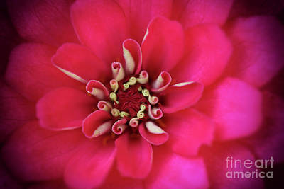 Photograph - Zinnia Zzzs by Karen Adams