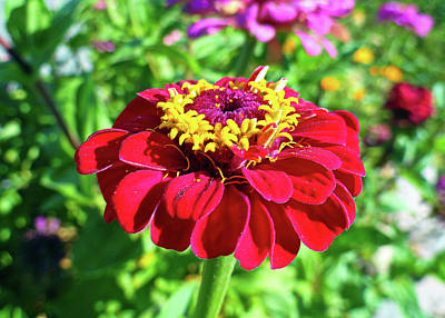 Photograph - Zinnia Study 4 by Robert Meyers-Lussier