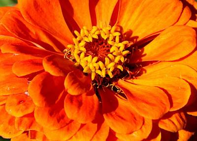 Photograph - Zinnia Tangerine by David Dunham