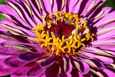 Photograph - Zinnia Violet by David Dunham