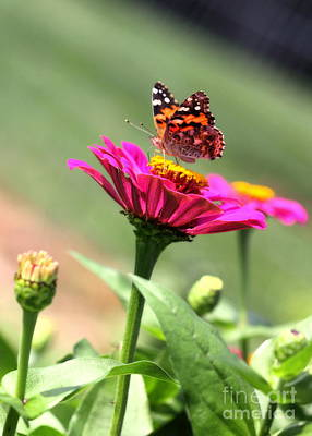 Photograph - Zinnia Visitor by Angela Rath