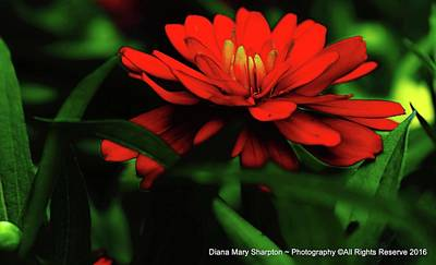 Photograph - Zinnia Waiting by Diana Mary Sharpton