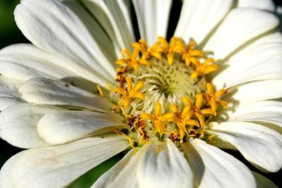 Photograph - Zinnia White by David Dunham