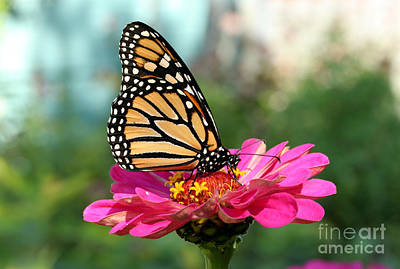 Photograph - Zinnia With The Monarch by Steve Augustin