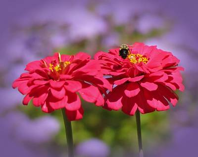 Photograph - Zinnia Zone Bee by MTBobbins Photography