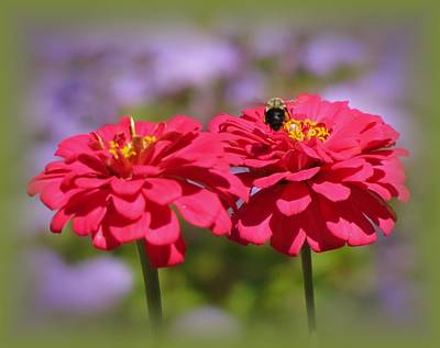 Photograph - Zinnia Zone Bee With Green Vignette by MTBobbins Photography