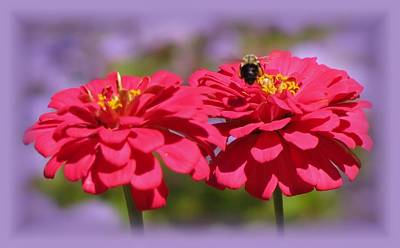 Photograph - Zinnia Zone Bee With Purple Vignette by MTBobbins Photography
