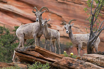 Photograph - Zion Big Horn Sheep by Jerry Fornarotto