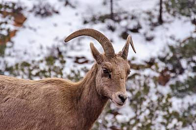 Photograph - Zion Bighorn Sheep Close-up by Gaelyn Olmsted