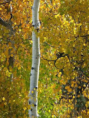 Photograph - Zion Np Kolob Aspens 3 by Jeff Brunton