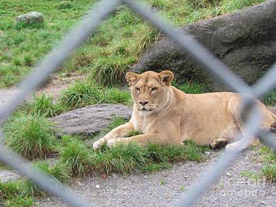 Photograph - Zoo Lion. by Joyce Woodhouse
