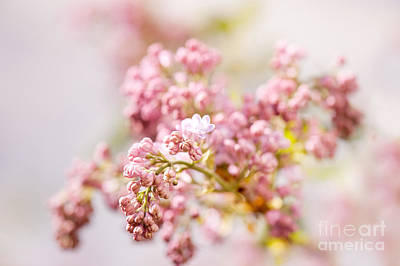 Zoomed Purple Syringa Vulgaris Or Lilac Buds  Print by Arletta Cwalina