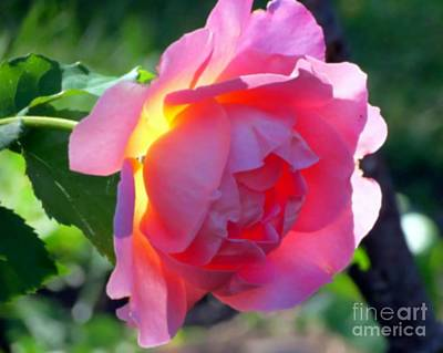 Photograph - Zora's Garden Rose by Donna Cavanaugh