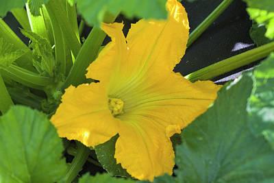 Photograph - Zucchini Squash Blossom by Kathy Clark