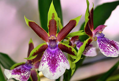 Photograph - Zygolum Louisendorf - Rhine Clown Orchid  005 by George Bostian