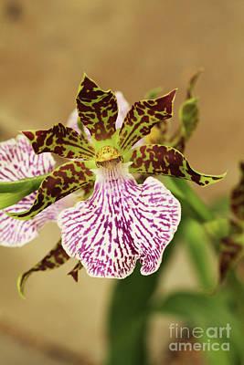 Beautiful Photograph - Zygopetalum Maculatum Orchid by Judy Whitton