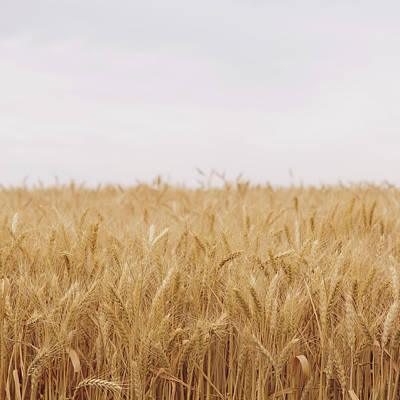 Photograph - A Field Of Ripening Wheat Growing, Near by Mint Images - Paul Edmondson