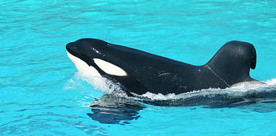 Royalty-Free and Rights-Managed Images - A Killer Whale Porpoising Through Blue Water by Derrick Neill