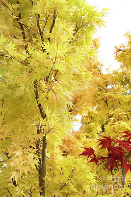 Photograph - Acer Palmatum Sango Kaku by Tim Gainey
