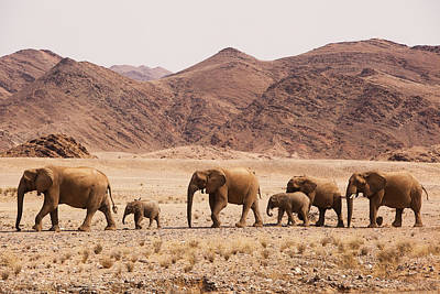 Photograph - African Elephant Loxodonta Africana by Theo Allofs/ Minden Pictures