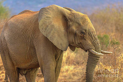 Photograph - African Elephant South Africa by Benny Marty