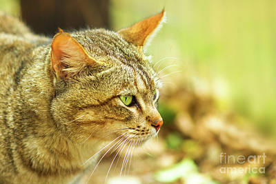 Photograph - African Wild Cat by Benny Marty