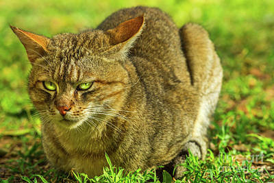 Photograph - African Wild Cat Standing by Benny Marty