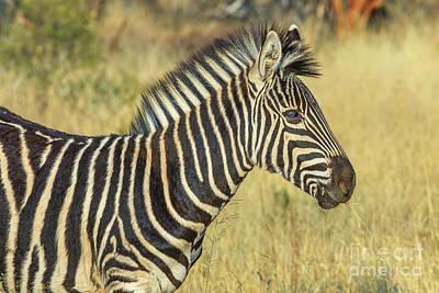 Photograph - African Zebra In Kalahari by Benny Marty