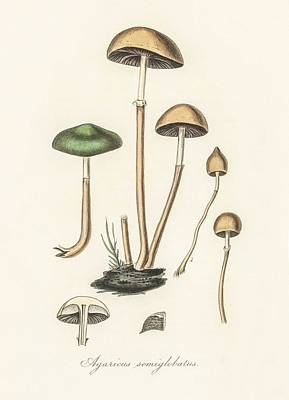 Blue Hues - Agaricus semiglobatus illustration from Medical Botany  1836  by John Stephenson and James Morss Chu by Celestial Images