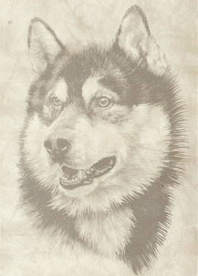 Drawing - Alaskan Malamute by Barbara Keith