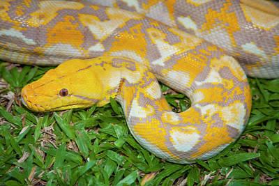 Photograph - Albino Burmese Python by Stuart Dee