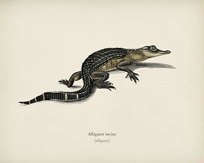 Reptiles Royalty-Free and Rights-Managed Images - Alligator  Alligator incius illustrated by Charles Dessalines D Orbigny  1806 1876  by Celestial Images