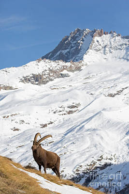 Photograph - Alpine Ibex In Winter by Arterra Picture Library