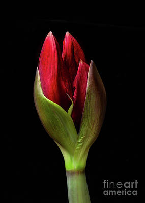 Photograph - Amaryllis 'merlot' by Ann Jacobson