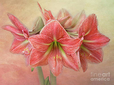 Photograph - Amaryllis  'terra Cotta Star' by Ann Jacobson