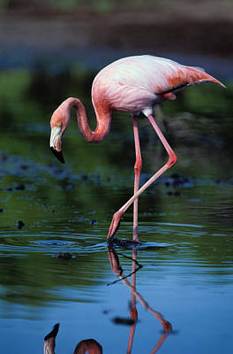 Animal Animal Photograph - American Flamingo Phoenicopterus Ruber by Art Wolfe
