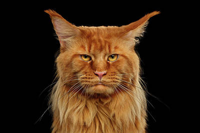 Angry Ginger Maine Coon Cat Gazing On Black Background Art Print