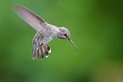 Annas Hummingbirds Wall Art - Photograph - Annas Hummingbird by Mallardg500
