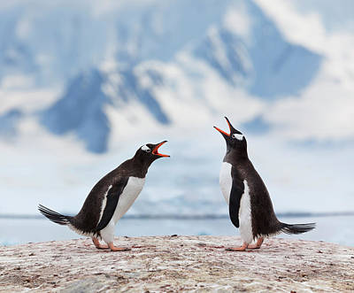 Antarctica Gentoo Penguins Fighting Art Print by Grafissimo
