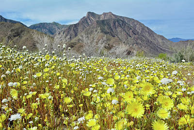 Photograph - Anza Borrego Desert Bloom by Kyle Hanson