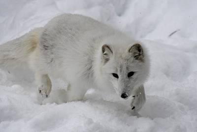 Photograph - Artic Fox by Jeffrey PERKINS