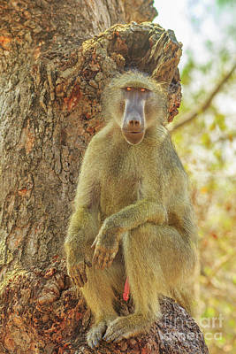 Photograph - Baboon On A Tree by Benny Marty