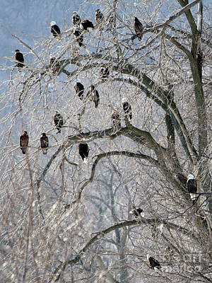 Photograph - Bald Eagles At Starved Rock by Paula Guttilla
