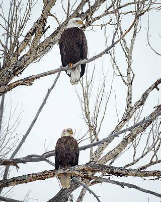 Photograph - Bald Eagles by Michael Chatt