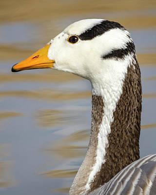 Photograph - Bar Headed Goose Zhangye Wetland Park Gansu China by Adam Rainoff