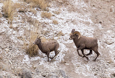 Photograph - Bighorn Ewe And Ram by Michael Chatt