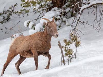 Photograph - Bighorn Sheep In Deep Snow by Steve Krull
