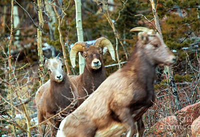 Photograph - Bighorns In The Morning by Steve Krull